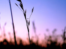 Plant Silhouette 3. Grassy plants silhouetted in front of vibrant blue/purple sky royalty free stock image