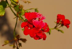 Plant with small delicate red petals Stock Image