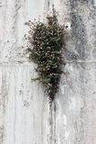 Plant with small flowers growing in rock crevice. Nature backround Stock Image