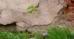 Plant or small tree and grass growing in front of aged stone wall.  stock video