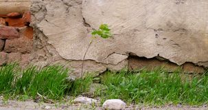 Plant or small tree and grass growing in front of aged stone wall. Vintage grading stock video