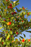Plant of small and very spicy chilli pepper against the blue sky Royalty Free Stock Images