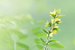 Plant with small yellow flowers Stock Images