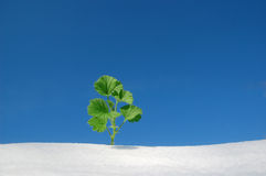 Plant on snow Stock Photo