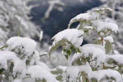 Plant snow Royalty Free Stock Photo