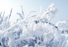 Plant in snow Royalty Free Stock Photos