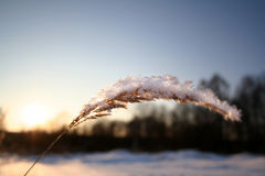 Plant with snow Royalty Free Stock Image