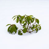 Plant in Snow Royalty Free Stock Photo