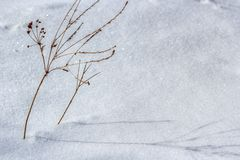 Plant in the snow Royalty Free Stock Images
