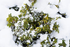 Plant in the snow. Hakodate Japan Royalty Free Stock Photos