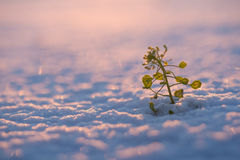 Plant in snow Royalty Free Stock Photography