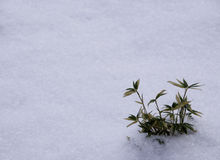Plant and Snow Stock Photography