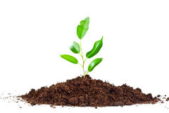 Plant in  soil Stock Image