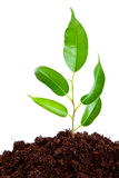 Plant in  soil. Isolated on white background Stock Photography