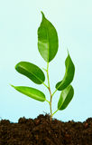 Plant in  soil Royalty Free Stock Photography