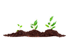 Plant in  soil Royalty Free Stock Image