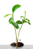 Plant in soil Stock Photography