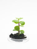 Plant with soil growing in petri dish. Perspective view of petri dish with a small sprout of a leafy plant emerging from a clump of dirt, against a white Royalty Free Stock Photos