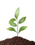 Plant in soil isolated on white background Stock Images