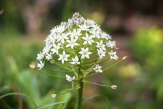 Garlic plant. A plant of some garlic species Allium sp stock images