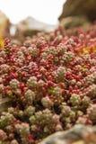 Plant species of Sedum Royalty Free Stock Images