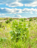 Plant spring. A meadow in a landscape of early spring Royalty Free Stock Photo