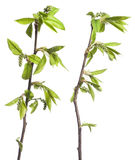 Plant with sprout. Plant on white. See my other images of plants Royalty Free Stock Photo