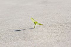 Plant sprouting in the desert Sahara. Seedling sand Stock Photos