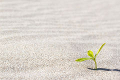Plant sprouting in the desert Sahara. Seedling sand Royalty Free Stock Images