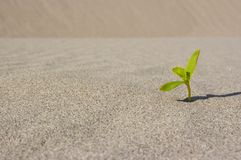 Plant sprouting in the desert Sahara. Seedling sand background. One sprout Stock Image