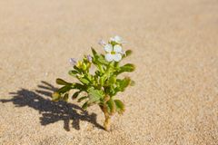 Plant sprouting in the desert Sahara. Seedling sand background. One sprout Royalty Free Stock Images