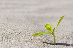 Plant sprouting in the desert . Sprout  desert. Stock Photo