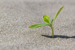 Plant sprouting in the desert . Sprout in the Royalty Free Stock Image