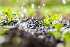 Plant sprouts in the field and farmer  is watering it Royalty Free Stock Photography