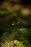 Plant stem growing Royalty Free Stock Image