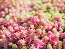 Plant Stonecrop Sedum close-up. A living carpet of plants. Ornamental plants for landscaping gardens and parks. Stock Photography