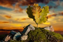 Small oak tree with leafs on moss at sunset. Plant and stones on moss hill at sunset Royalty Free Stock Photos