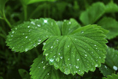 Plant strawberries in the morning after rain. Raindrops on the leaves of strawberry royalty free stock image
