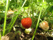 Plant strawberries Royalty Free Stock Photography