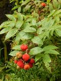 Plant, Strawberries, West Indian Raspberry, Fruit royalty free stock image