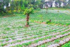 Plant strawberry chiangmai thailand Stock Image