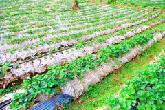 Plant strawberry chiangmai thailand Stock Photo