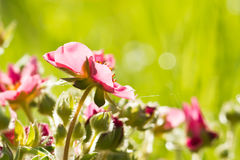 Plant is a strawberry Royalty Free Stock Image