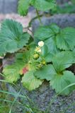 Plant of strawberry with leaves Royalty Free Stock Image