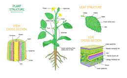 Plant structure and cross section botanical biology labeled diagrams collection. Plant structure and cross section diagrams, botanical microbiology vector royalty free illustration