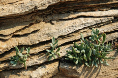 Plant of succulent in the crack of rock Stock Photography