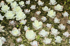 Plant succulents Stock Photos