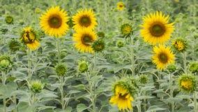 Plant Sunflower Stock Photo