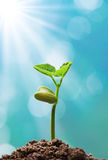 Plant with sunlight Royalty Free Stock Image