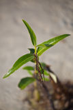 A plant surviving in hostile environment. A Plant growing in wildlife sanctuary along the coastal waters of UAE stock photo